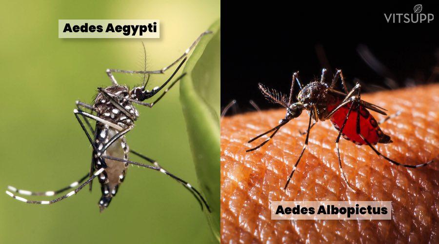 Mosquitoes - Aedes albopictus & Aedes aegypti