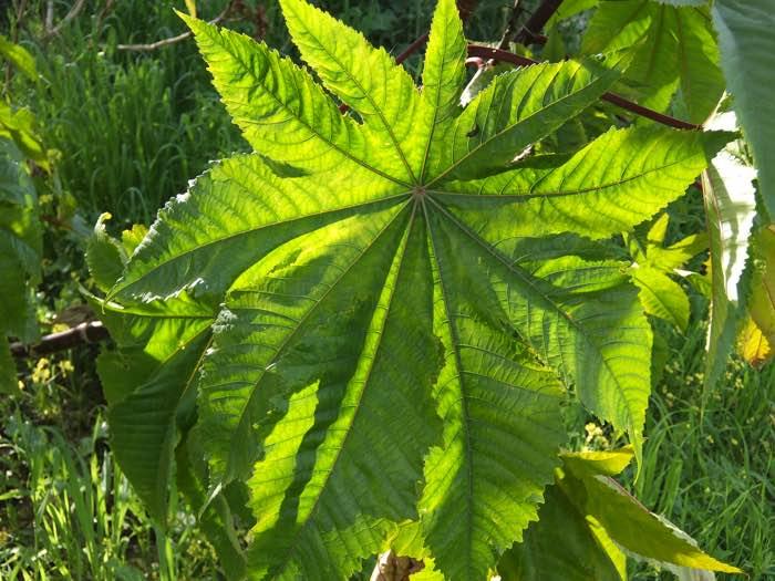 arandi leaves arandi ka patta kaisa hota hai