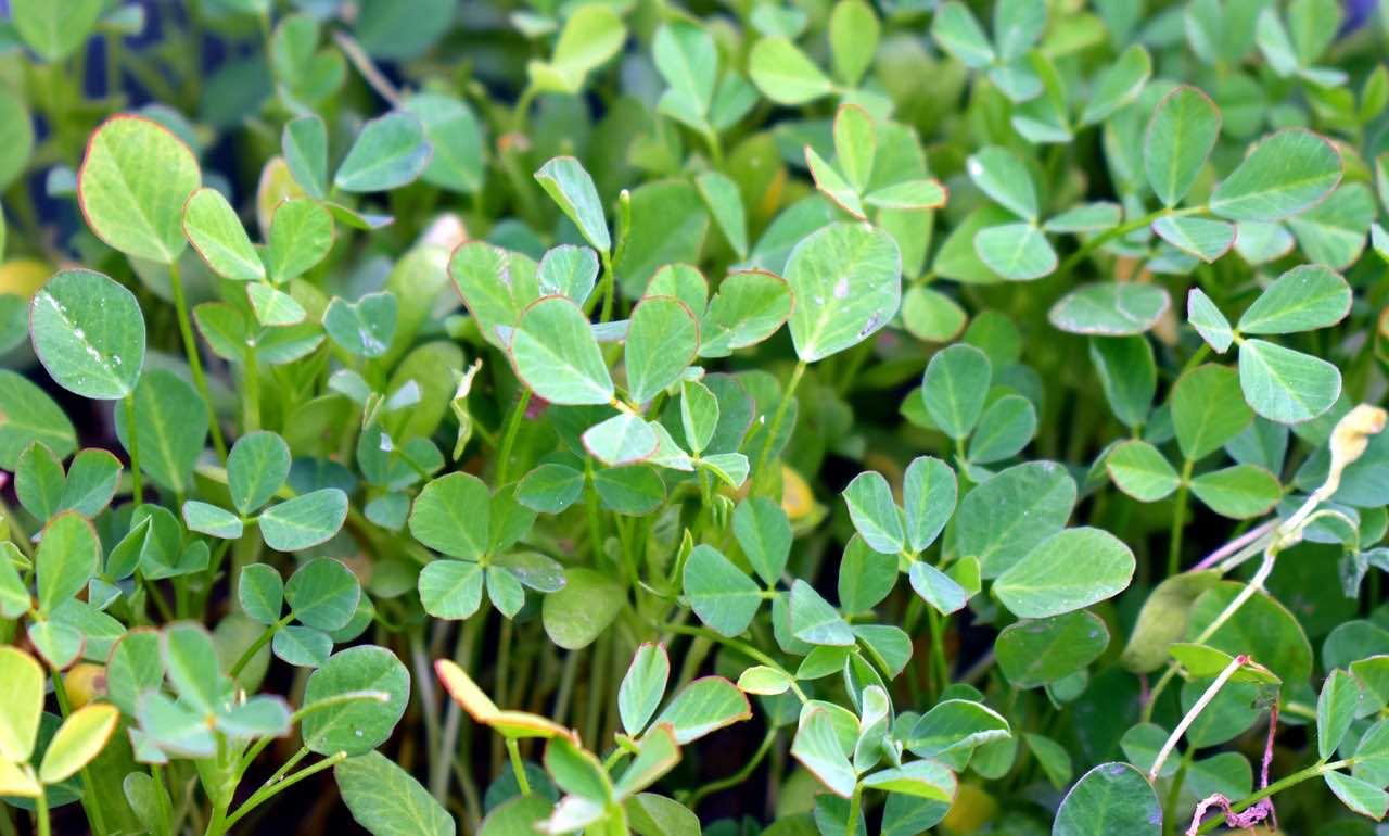 what is fenugreek plant